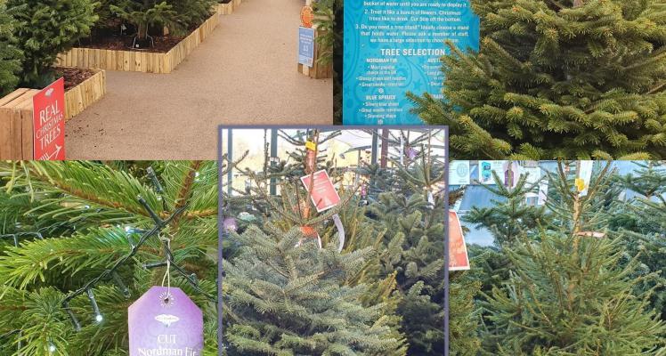 Choosing your real Christmas tree!